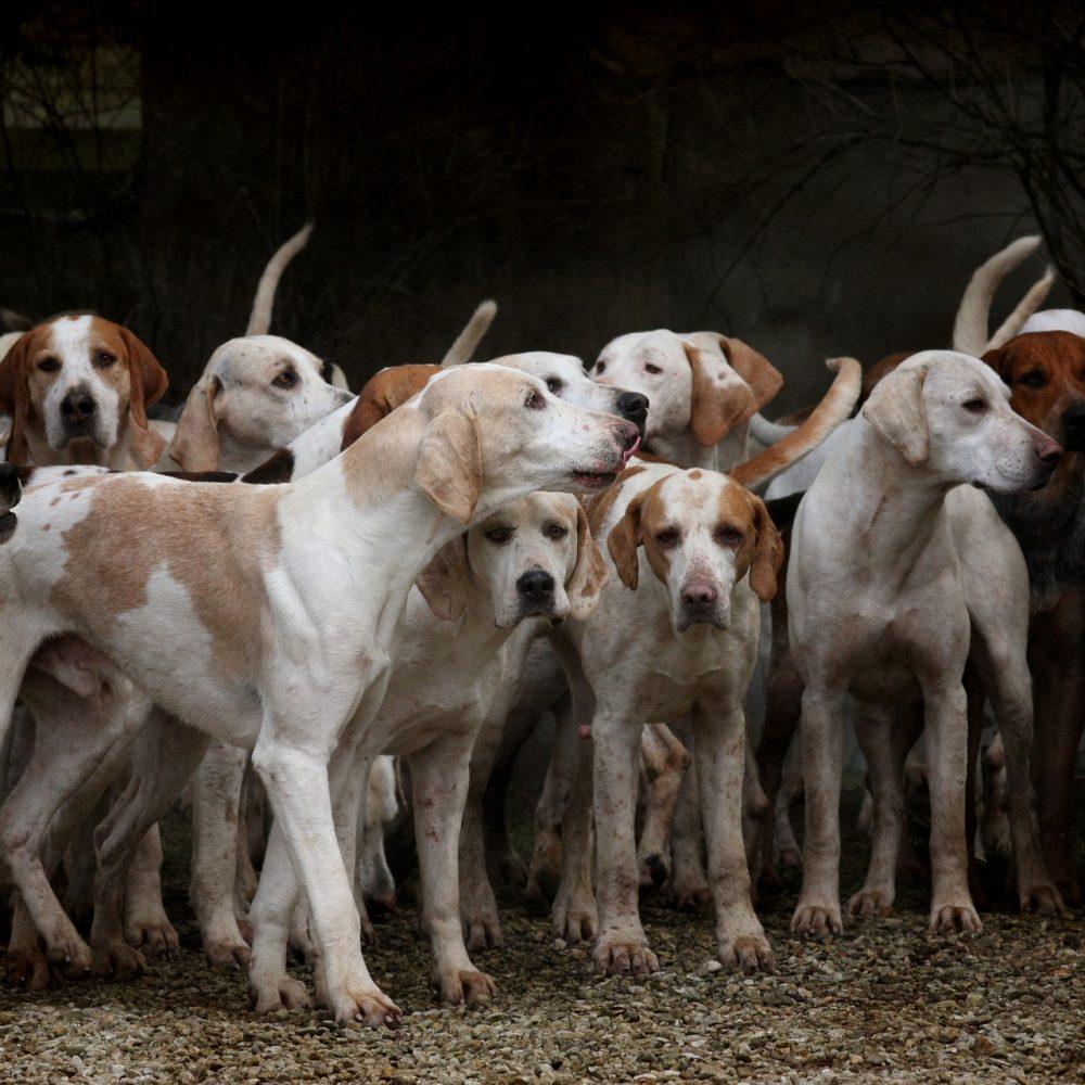La RFEC señala que la Fundación Affinity vuelve a desarticular las mentiras animalistas sobre el abandono de perros de caza