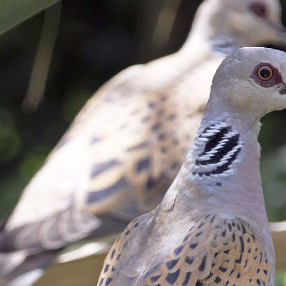 Prohibición de cazar la Tórtola salvaje en Mallorca a partir del día 15