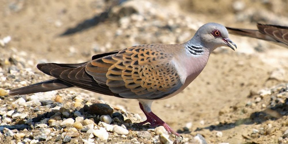 La RFEC denuncia la «amenaza» de la Fiscalía a las CCAA sobre la tórtola y reclama al MITECO medidas urgentes de gestión para la especie