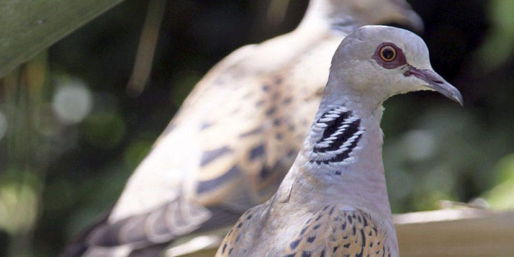 """La RFEC plantea a la Mesa de la caza un plan de gestión adaptativa de la tórtola que evite la """"moratoria"""""""