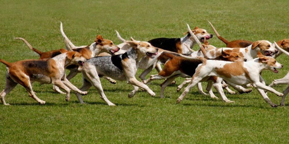 ¿Qué perros de caza son asegurados?