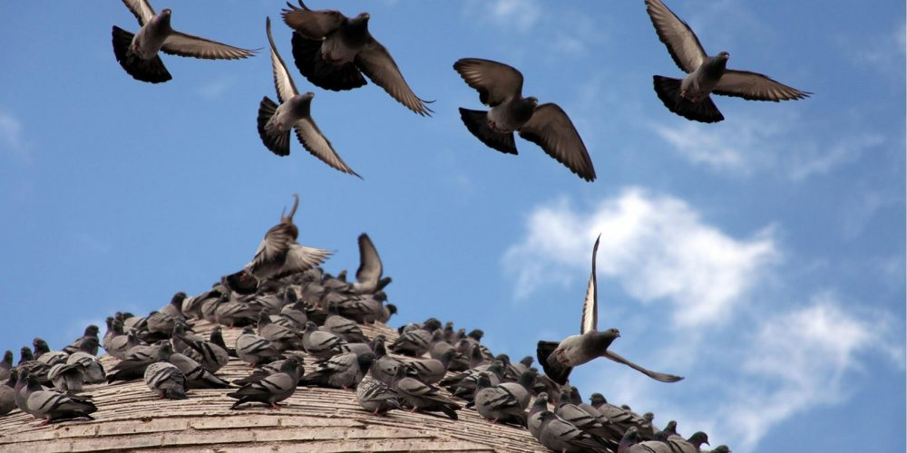 Autorización para el control poblacional de las palomas los días 2,6 y 9 de agosto